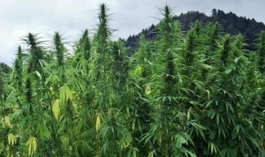 marijuanaaa