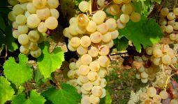 grappoli_vitigno_vernaccia_di_oristano2