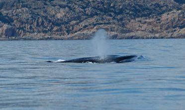 Balenottera comune avvistata a Caprera
