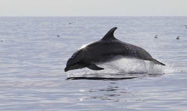 Delfino - tursiope