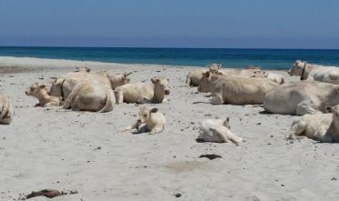 Spiaggia Berchida, prova costume mucche albine