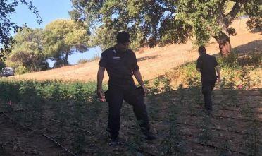 Sequestrata piantagione cannabis in Gallura