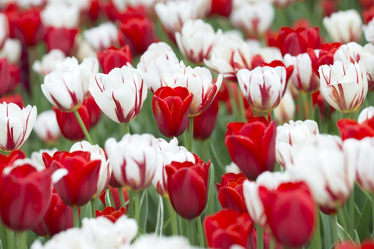 """Piantare I Bulbi Di Tulipani tulipani in sardegna"""", a turri apre il parco dove la"""