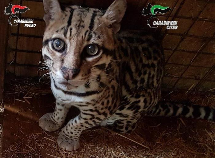 Raro esemplare di giaguaro in uno zoo privato, scatta il sequestro a Dorgali